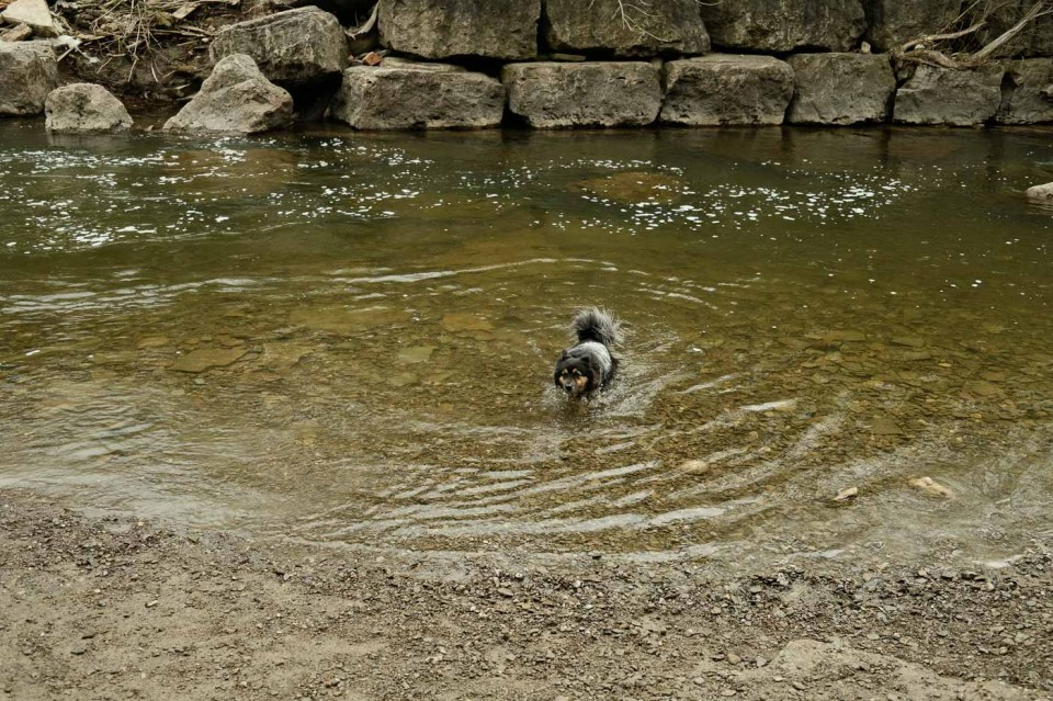 Etobicoke Valley Dog Park - Dog swimming in a deeper part of the creek
