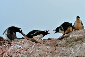 Penguins Arguing - Credit: Long Ma from Unsplash