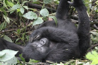 Young gorilla having a stretch, Bwindi Forest