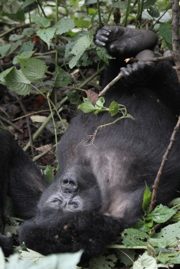 young gorilla in playful mood, Bwindi Forest