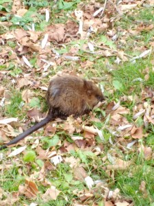 water rat at Clarks Pond