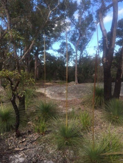 Grass trees in flower, Davidson ridge