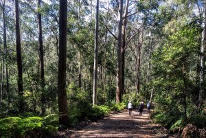 Ginger Meggs Forest Blue Gum Walk Hornsby