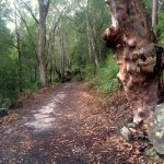 Angophora on Track to Gwydir Ave