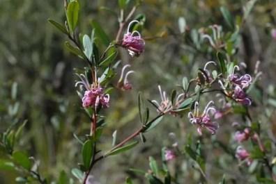 Spider Grevillea, Spring flowers at Muogamarra Nature Reserve