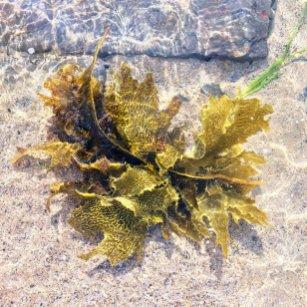 SOPC Coledale seaweed