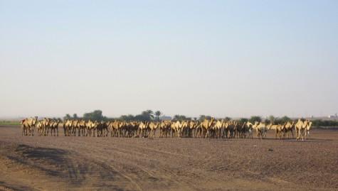 Utbredt transportmiddel i Sudan - kamel!