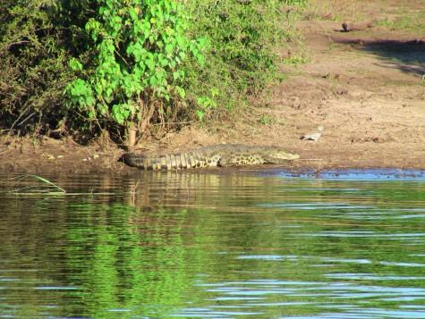 Ikke så stor, men det er da en krokodille!