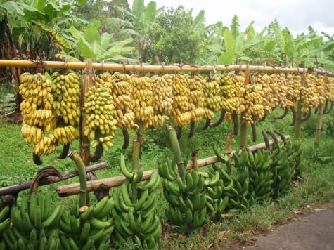Bananer i lange baner! Men Malawi ekporterer mest tobakk, te og sukker!