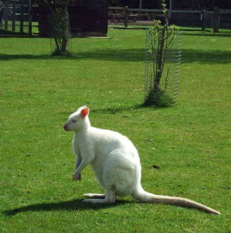 In 2013 my class fell in love with this white wallaby.