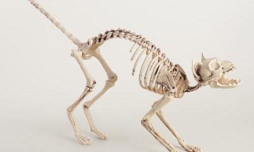 Cat Skeleton