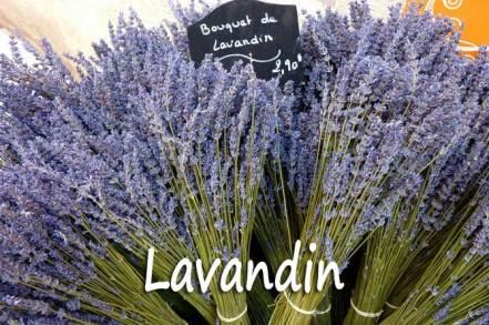 lavandin-2_fotolia_23165890