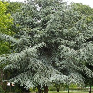 Blue-Atlas-Cedar-Cedrus-Atlantica