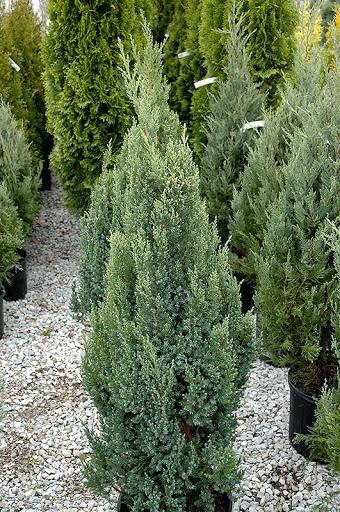 chinese-juniper-ontario-green