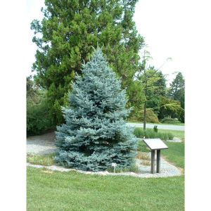 colorado-spruce-fat-albert