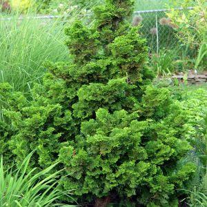 hinoki-cypress-nana-gracilis