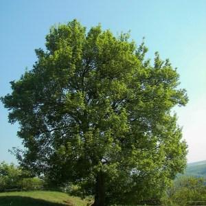hedge-maple-acer-campestre