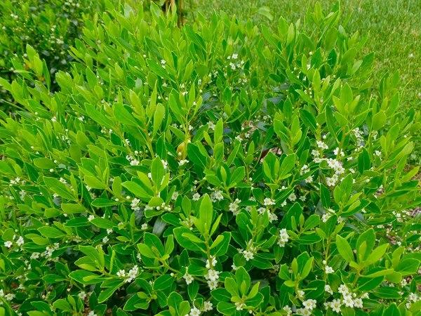 inkberry-holly-shamrock-ilex-glabra