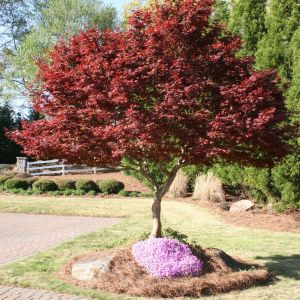 japanese-maple-bloodgood-acer-palmatum