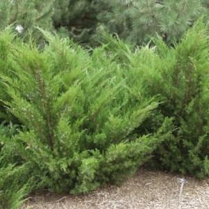 juniper-sea-green-juniperus-x-pfitzeriana