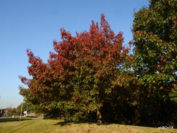 red-oak-quercus-rubra
