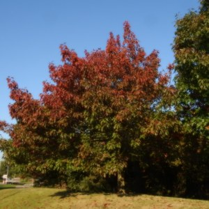 red-oak-quercus-rubra