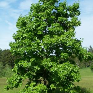 shagbark-hickory-carya-ovata