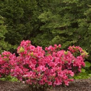 azalea-girards-rose-rhododendron