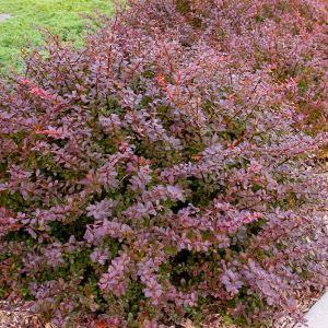 barberry-crimson-pygmy-berberis-thundergii-f-atropurpurea