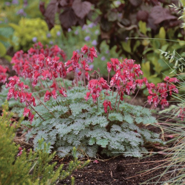 bleeding-heart-dicentra-bleeding-heart