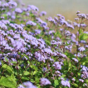 blue-mistflower-eupatorium-coelestinum