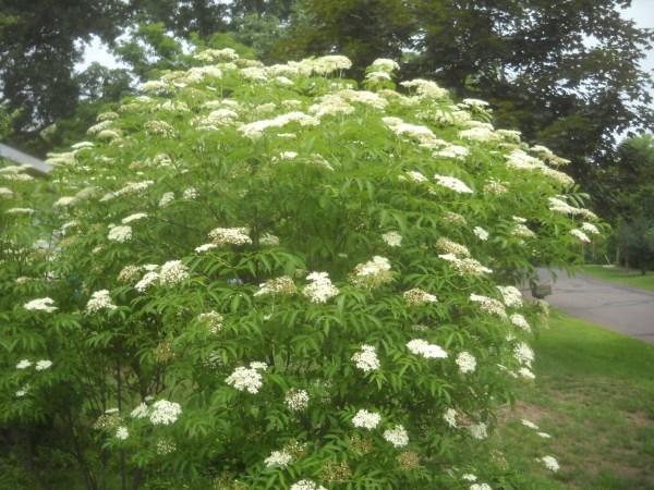 common-elderberry-sambucus-canadensis