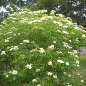 common-elderberry-sambucus-canadensis