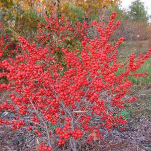 ilex-red-sprite-ilex-verticillata