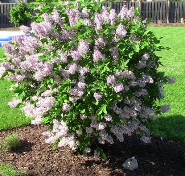 manchurian-lilac-miss-kim-syringa-pubescens-subsp-patula