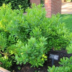 northern-bayberry-myrica-pennsylanica
