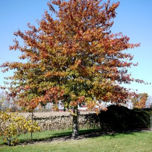 pin-oak-quercus-palustris