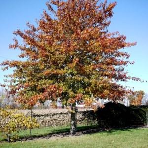 pin-oak-quercus-palustris