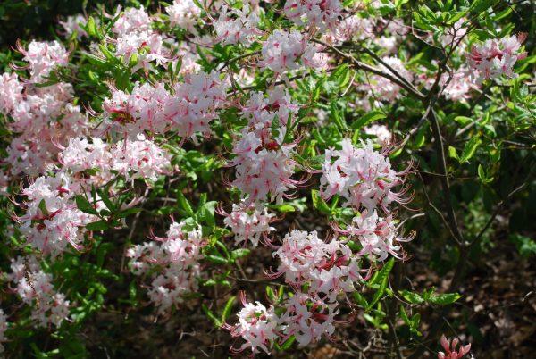 pinxterbloom-azalea-rhododendron-periclymenoides