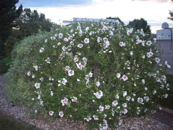 rose-of-sharon-hibiscus