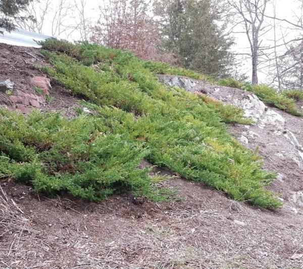 sargent-juniper-juniperus-chinensis