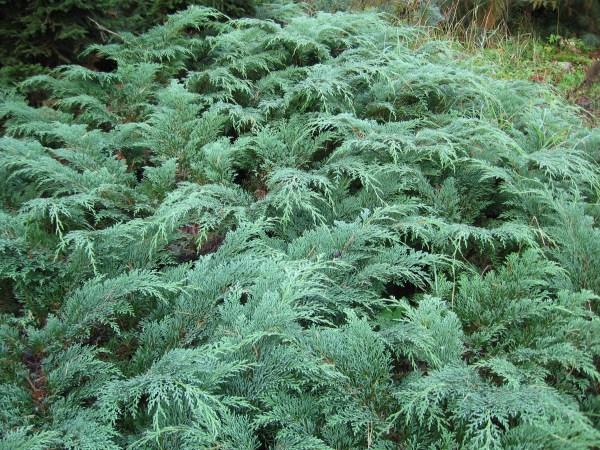 siberian-cypress-microbiota-decussata
