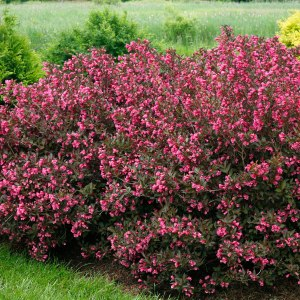 weigela-wine-and-rose-weigela