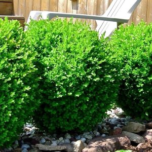 winter-gem-boxwood-buxus-sinica-var-insularis
