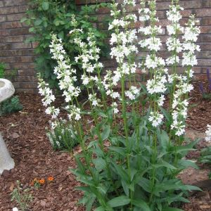 beardtongue-penstemon