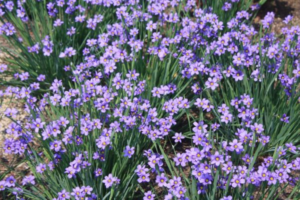 blue-eyed-grass-sisyrinchium-angustifolium