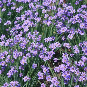 blue-eyed-grass-sisyrinchium-angustifolium