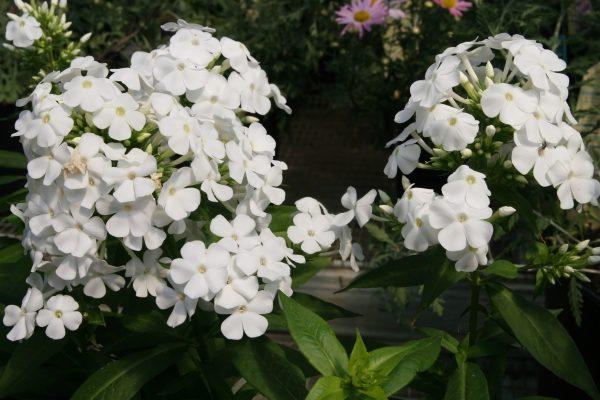 garden-phlox-phlox-paniculata-david