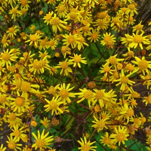 golden-ragwort-packera-aurea