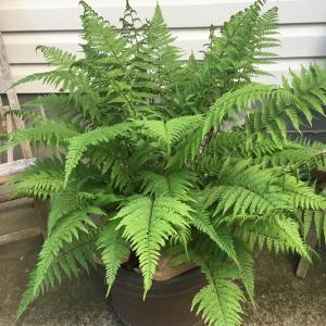 northern-lady-fern-lady-in-red-athyrium-filix-femina-var-angustum